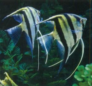 Фото рыбки Скалярия аквариумная