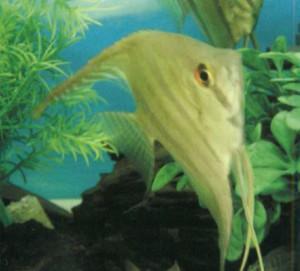 Фото рыбки Скалярия высокая