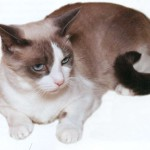 Кошка породы Сноу-шу, фото