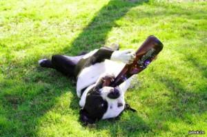 Собака пьет пиво