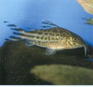 Сомик флагохвостый, фото рыбки