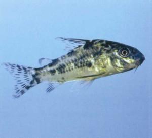 Сомик крапчатый, фото аквариумной рыбки