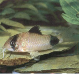 Сомик-панда, фото рыбки