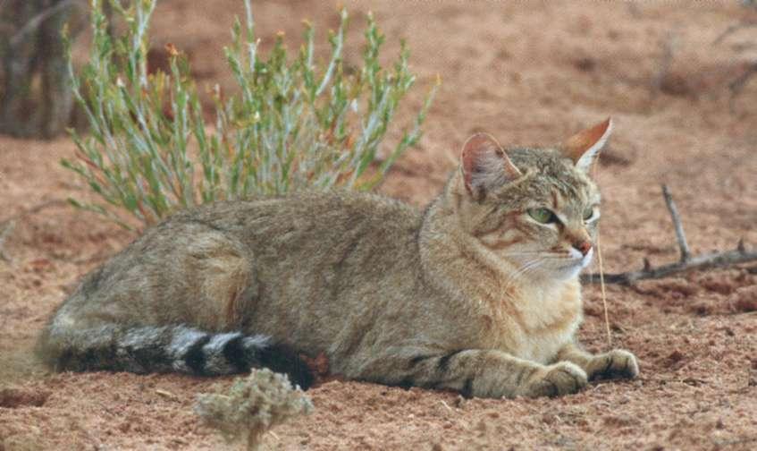 Степная кошка, фото