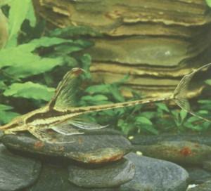Стурисома золотистая, фото рыбки
