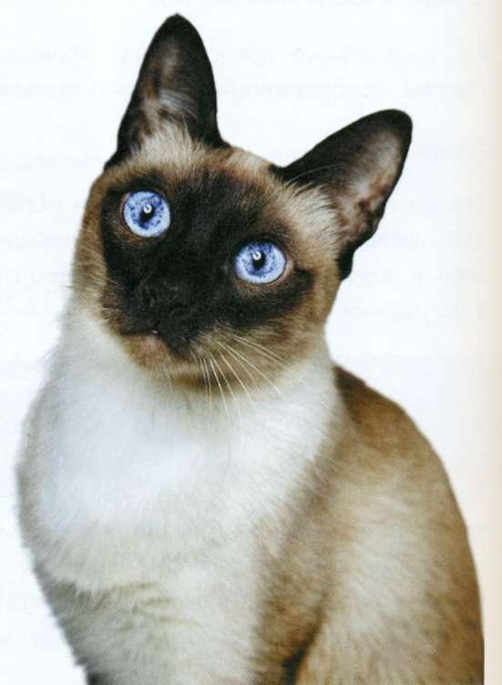 Тайская кошка, фото кошки