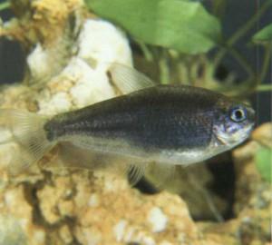 Тетра Черный император, фото рыбки