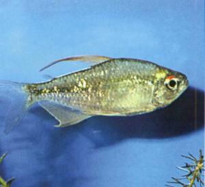 Тетра алмазная, фото рыбки