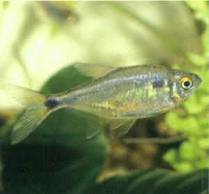 Тетра-фонарик, фото рыбки