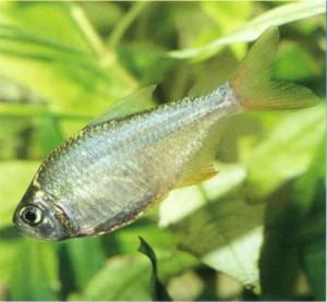 Тетра колумбийская, фото рыбки