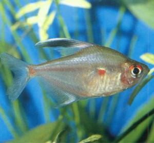 Тетра краснопятнистая, фото рыбки