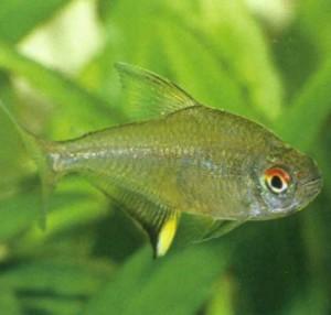 Тетра лимонная, фото рыбки