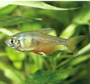 Тетра огненная, фото рыбки