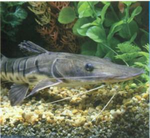 Тигровый лопатонос, фото рыбки