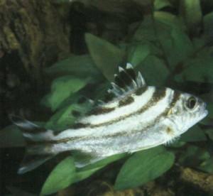 фото рыбки Тигровый окунь