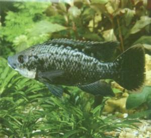 Фото рыбки Тиляпия мозамбикская