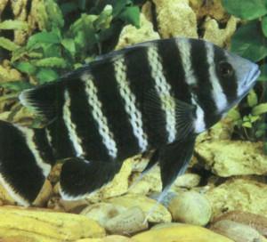 фото рыбки Тиляпия зебровая