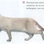 Тонкинская кошка, фото