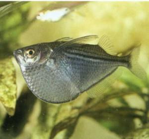 Топорик обыкновенный, фото рыбки