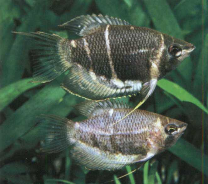Фото аквариумной рыбки Трихогастр шоколадный