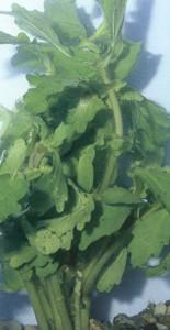 Трихокорнис, фото растения