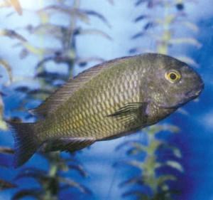 фото рыбки Трофеус Мура