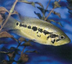 Фото рыбки Цихлазома Луазеля