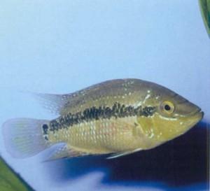 Фото рыбки Цихлазома Сальвини