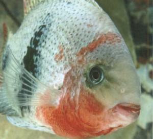 Фото рыбки Цихлазома красногорлая
