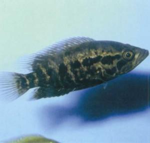Цихлазома манагуанская, фото рыбки