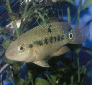 Рыбка Цихлазома оранжевая, фото