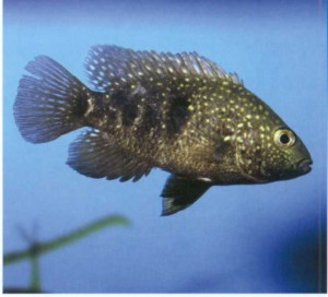 Фото рыбки Цихлазома техасская