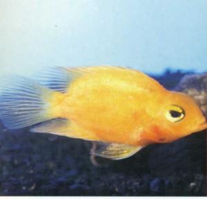 Фото рыбки Цихлазома цитроновая
