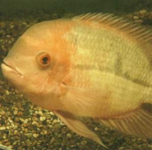 рыбка аквариумная Цихлазома винная, фото