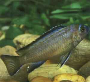Аквариумная рыбкац ихлида-аврора, фото