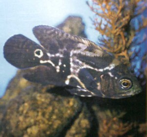 фото рыбки Цихлида бархатная