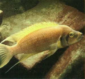 фото аквариумной рыбки цихлида бледно-желтая