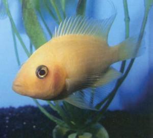 Фото рыбки Цихлида большегубая