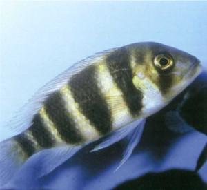 Фото рыбки Цихлида горбатоголовая