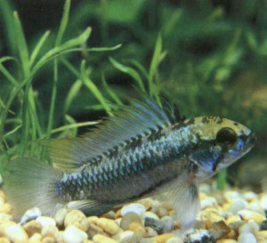 Фото рыбки Цихлида карликовая трехполосная