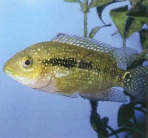 Рыбка Цихлида красногрудая, фото