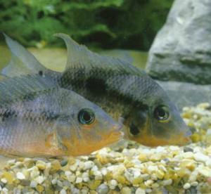 фото рыбки Цихлида огненноротая