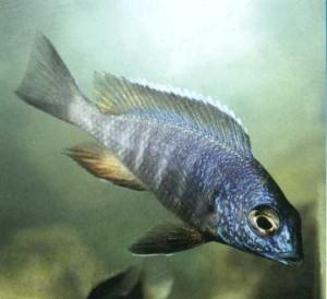 фото рыбки Цихлида-павлин