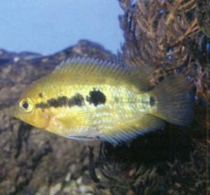 фото рыбки Цихлида радужная