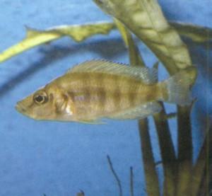 фото рыбки Цихлида сплющенная