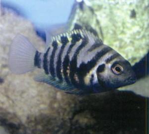 фото рыбки Цихлида-зебра