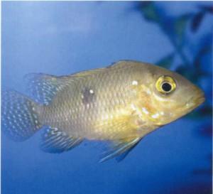 Фото рыбки Цихлида жемчужная