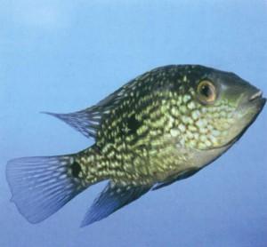 Фото аквариумной рыбки Цихлида жемчужно-чешуйчатая