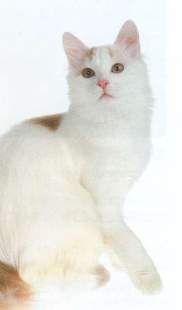 Кошка Турецкий ванн, фото