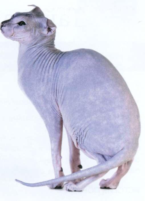 Украинский левкои, фото кошки